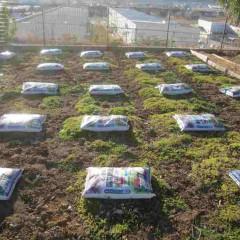 カモマイル・ローマンは多年草で茎を伸ばして広がります