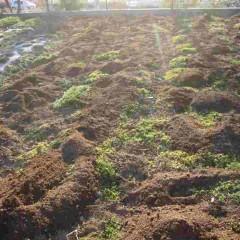 茎が伸びやすいように柔らかい土を株の周りに客土します