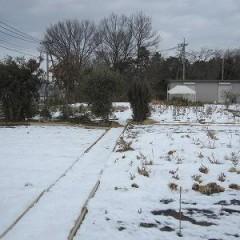 寒さに強いカモマイル・ローマンは雪の下でも平気です