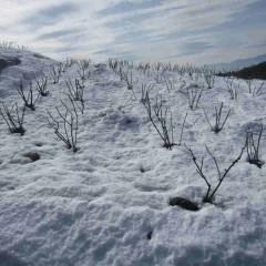 日陰の畑は雪が凍っています