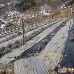ラベンダーに厳しい冬はまだ続きそうです