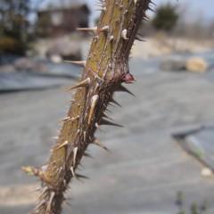 古い枝の芽は動きが鈍くまだ固いままです