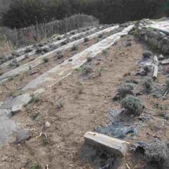 農場のラベンダー畑も剪定を始めます