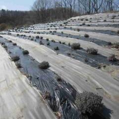 春の日差しをいっぱいに浴びたラベンダー畑です