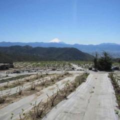 快晴のローズ畑から富士山が綺麗に見えました