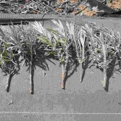 太くて真っ直ぐな剪定枝の下半分の葉を落として挿し木枝にします