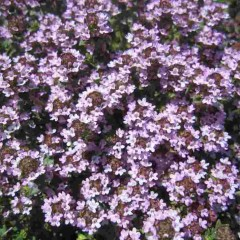 タイム・ブルガリスは5分咲きになりました
