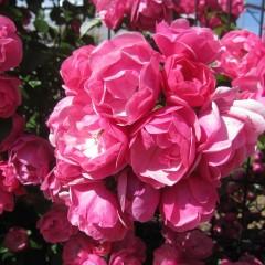 カップ咲きが美しい「アンジェラ」