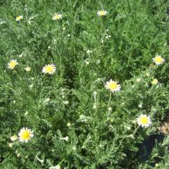 ジャーマン種と比べると花の数は少ないですが2周り程大きな花です