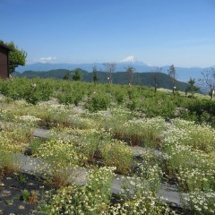 農場研修の皆様も富士山を眺めながら摘み取り出来ると良いですね