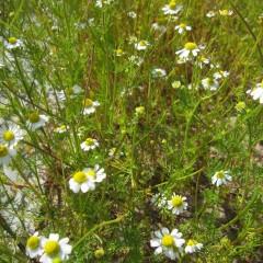 1回目より花数は少なくなっていますがまだ蕾は沢山残っています