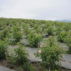 ローズの一番花を収穫します