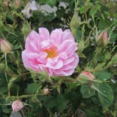 花枝の一番先端に付く花で最初に咲きます