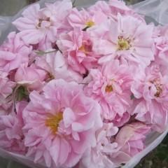 一番花が一番大きく、脇枝の花は一回り小さくなります