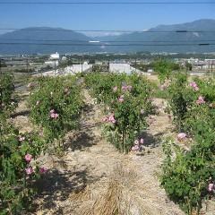 ナード・ジャパン事務局前のローズ畑は花盛り