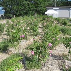 今朝は約600個の花を摘み取りました