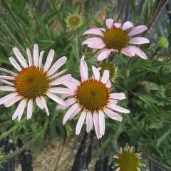 エキナセア・アングスティフォリアは葉が細い薬用品種です
