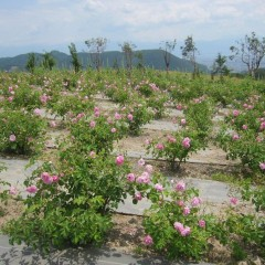 枝先に咲いたローズの花は重たそうです
