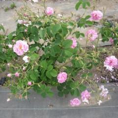 ピンク色に輝くローズの花