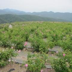1日に収穫するローズの花は50,000個を超えます