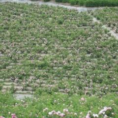 一面のローズの花