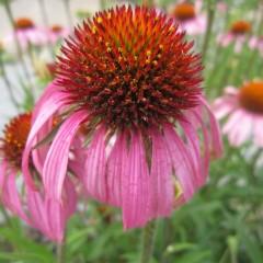 花弁が垂れ下がった姿が馬簾に似ているところから名付けられました