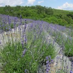 畑一面紫色に覆われました