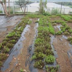 カラカラ状態の畑にやっと雨が降りました