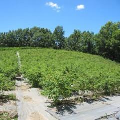 ローズ畑もすっかり夏空になりました