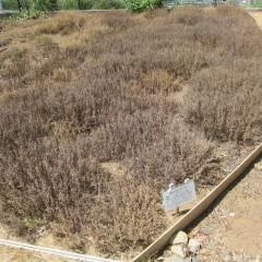 今年の夏は異常気象で雨が降らず畑はカラカラで哀れな姿に