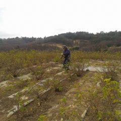 ローズ畑では除草作業と枝切り作業が続いています