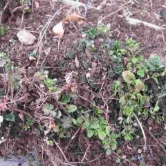密生したベルガモットミントを掘り取り雑草を取り除く