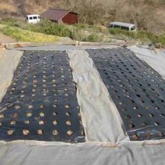 3月18日に新しく増やしたベルガモットミントの畑です