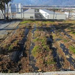 多年草のカモマイル・ローマンは葉を茂らせたまま冬を越します