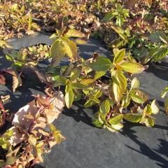 ナード・ジャパン事務局前のペパーミントは葉が赤茶けています