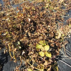 農場のベルガモットミントは地上部が完全に枯れています
