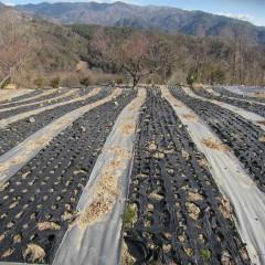 一年草のカモマイル・ジャーマンは秋にこぼれ種から芽を出します