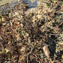 農場のスペアミントも地上部が完全に枯れています
