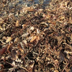農場のペパーミントも地上部が完全に枯れています