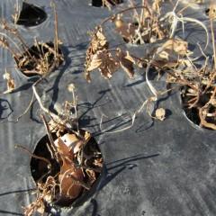 農場のアルベンシスミントも地上部が完全に枯れています