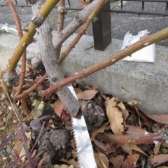 4~5年経つと枝が木質化して来るので株元から切り取ります