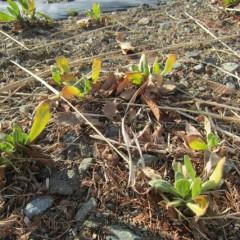 カレンデュラは秋に芽を出した苗が冬を耐え抜きます