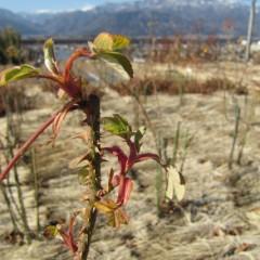 仮剪定をした後に芽が動き出して葉を広げた枝先