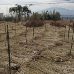 農場よりも枝を長く残しているので倒れないよう支柱に誘引します