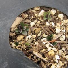 地下茎から新芽が顔をでしているところも
