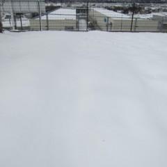 8日に降った雪がまだ溶けず事務局前のカモマイル・ローマンは雪の中