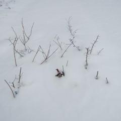 雪に負けるな! レモンバーベナ