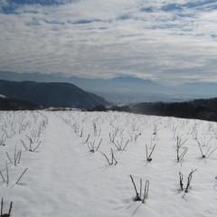 8日に降った雪で覆われたままのローズ畑