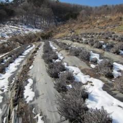 日当たりの良いラベンダー畑の雪は溶けていました