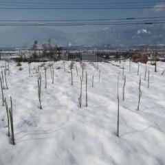事務局前のローズ畑の雪は少しずつですが溶け始めています
